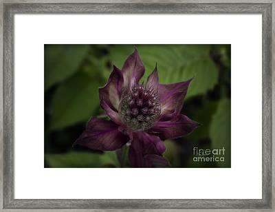 Color Purple Framed Print by Cris Hayes