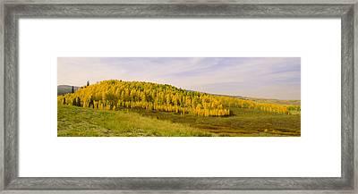 Colorado Aspens Framed Print by Brian Harig