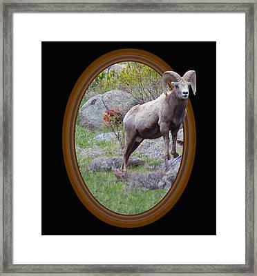 Colorado Bighorn Framed Print by Shane Bechler