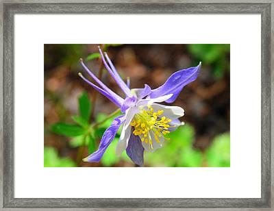 Colorado Blue Columbine Flower Framed Print