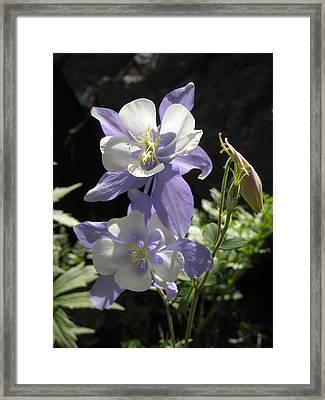 Colorado Blue Columbine Framed Print by Robert Lozen