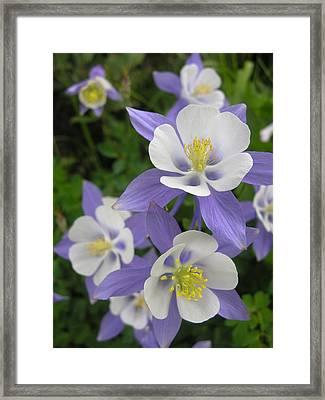 Colorado Blue Columbines Framed Print by Robert Lozen
