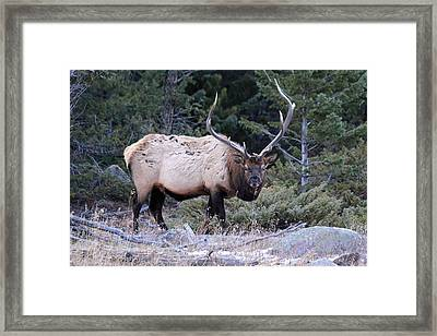 Colorado Bull Elk Framed Print