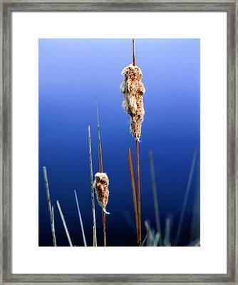 Colorado Cattails Framed Print