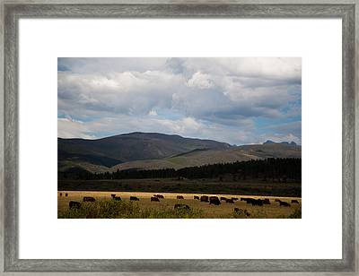Framed Print featuring the photograph Colorado Cattle Graze by Shirley Heier