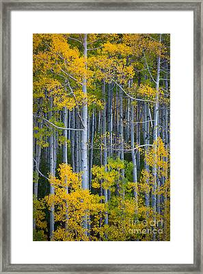 Colorado Fall Color Framed Print by Inge Johnsson