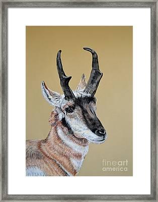 Colorado Plains Antelope Framed Print by Ann Marie Chaffin