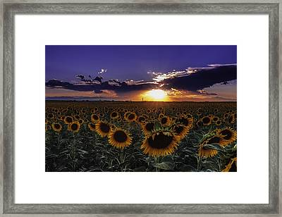 Colorado Sunflowers Framed Print