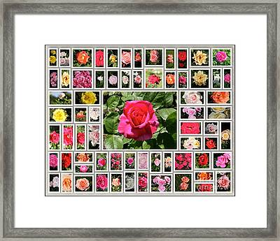Colored Roses Framed Print by Stefano Senise