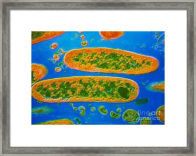 Colored Sem Of Yersinia Pestis Bacteria Framed Print by Cnri