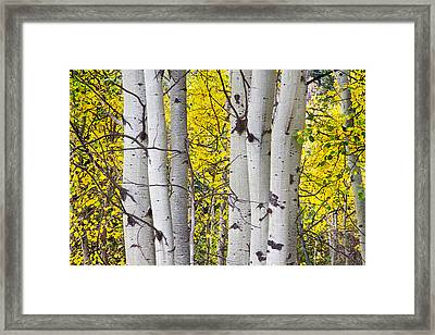 Colorful Autumn Aspen Tree Colonies Framed Print by James BO  Insogna