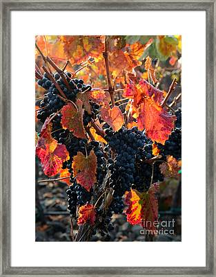 Colorful Autumn Grapes Framed Print by Carol Groenen