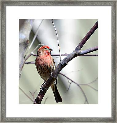 Colorful Bird In Winter Framed Print by Susan Leggett