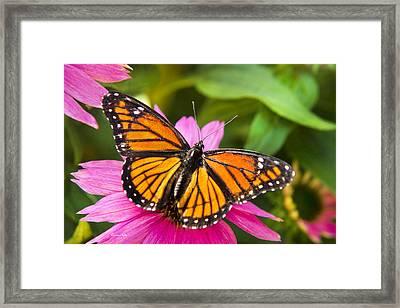 Orange Viceroy Butterfly Framed Print