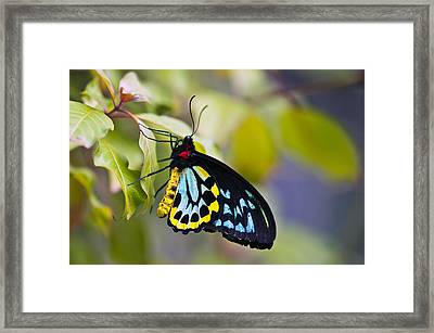 colorful butterfly Ornithoptera priamus Framed Print