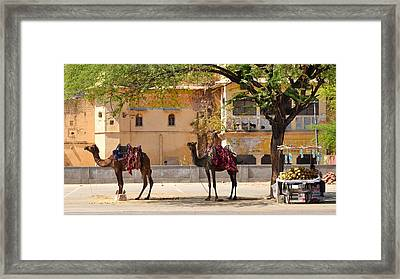 Colorful Camels - Jaipur India Framed Print by Kim Bemis