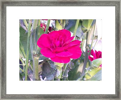 Framed Print featuring the photograph Colorful Carnation by Belinda Lee