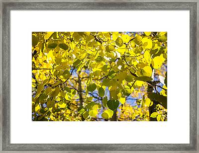 Colorful Changing Aspens Abstract - Estes Park Colorado Framed Print