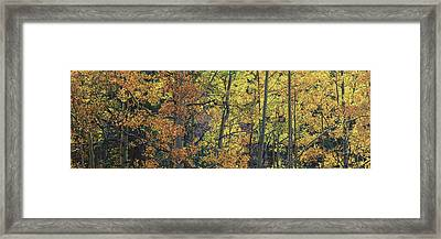 Colorful Changing Aspens Panorama - Divide Colorado Framed Print