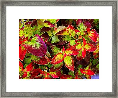 'colorful Coleus' Framed Print