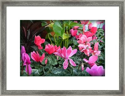 Colorful Cyclamen Framed Print by Carla Parris