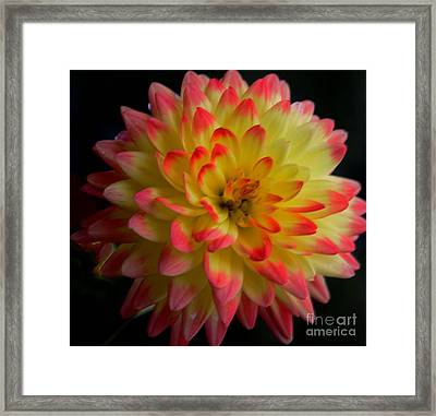 Colorful Dahlia Framed Print by Kathleen Struckle