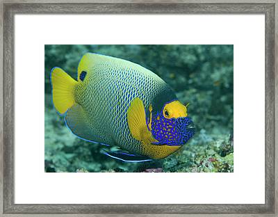 Colorful Emperor Angelfish (pomacanthus Framed Print