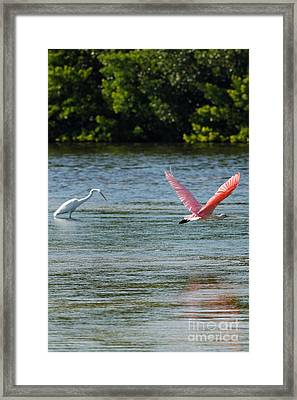 Colorful Flight Of The Spoonbill Framed Print by Natural Focal Point Photography