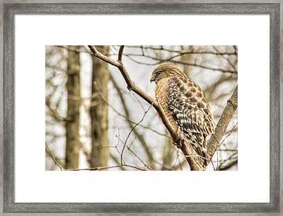Colorful Hawk Framed Print by Francis Sullivan