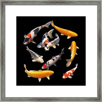 Colorful Japanese Koi Square Framed Print by Gill Billington