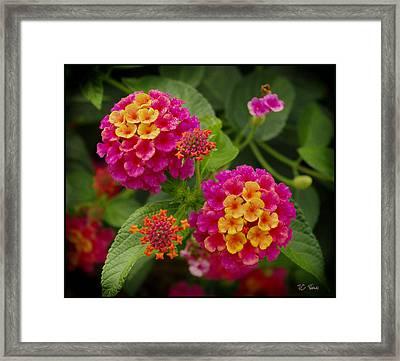 Colorful Lantana  Framed Print