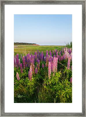 Colorful Lupins Framed Print by Matt Dobson