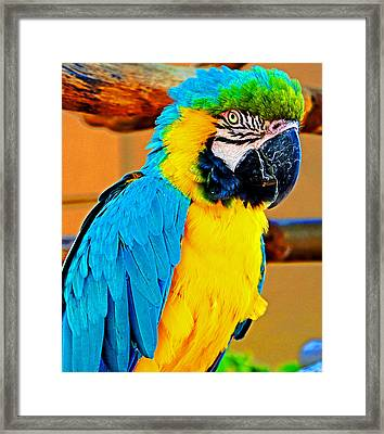 Colorful Macaw Framed Print by Jeanette Arango