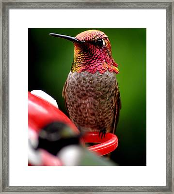 Framed Print featuring the photograph Colorful Male Anna Hummingbird On Perch by Jay Milo