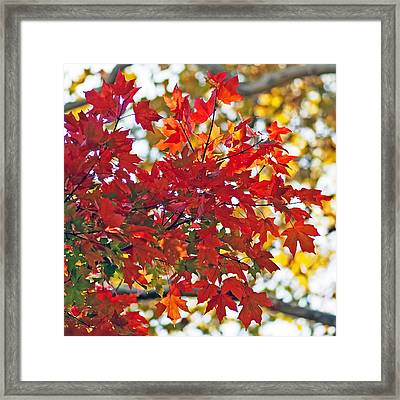 Colorful Maple Leaves Framed Print by Rona Black