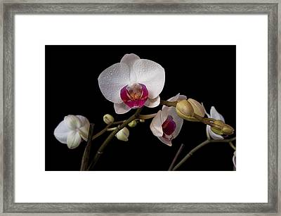 Colorful Moth Orchid Framed Print by Ron White