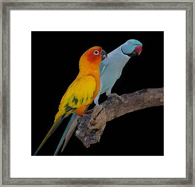 Sun Conure And Ring Neck Parakeet Framed Print