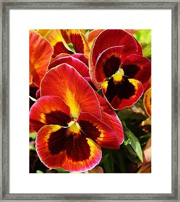 Colorful Pansies Framed Print by Bruce Bley