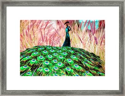 Colorful Peacock Framed Print by Matt Harang