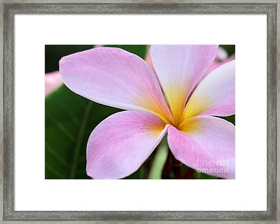 Colorful Pink Plumeria Flower Framed Print by Sabrina L Ryan