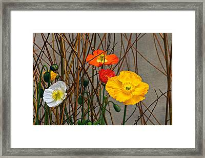 Colorful Poppies And White Willow Stems Framed Print