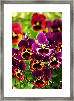 Framed Print featuring the photograph Colorful Purple Pansies by Suzanne Powers