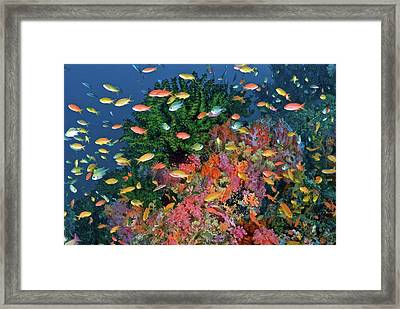 Colorful Reef Scenic, Triton Bay, Fak Framed Print by Jaynes Gallery