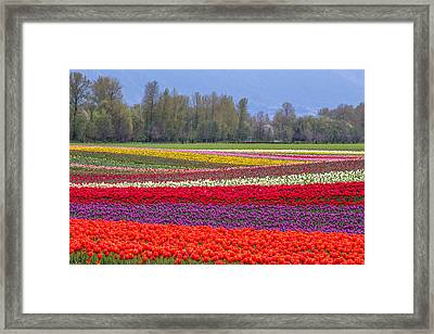 Colorful Rows Of Tulips In Agassiz Bc Framed Print