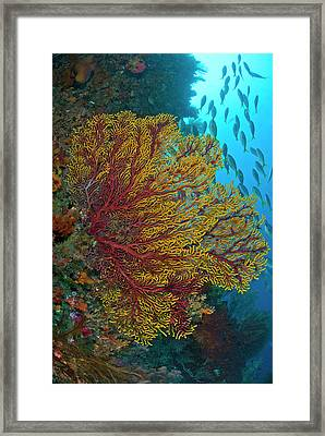 Colorful Sea Fan Or Gorgonian Coral Framed Print