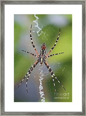 Colorful Spider Framed Print by Kevin McCarthy