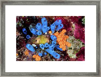 Colorful Tunicates And Soft Corals Framed Print by Ethan Daniels