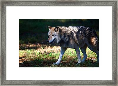 Colorful Wolf Framed Print by Karol Livote