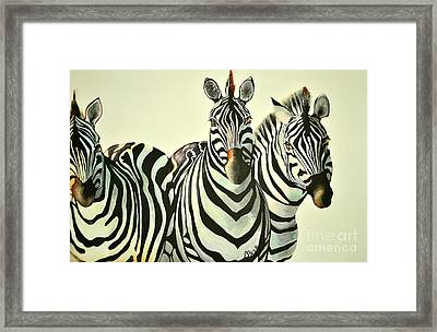 Colorful Zebras Painting Framed Print