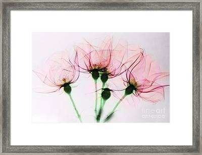 Colorized X-ray Of Roses Framed Print by Scott Camazine